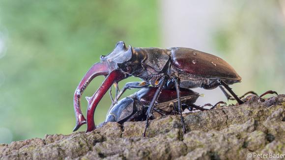 Vliegend Hert - Stag beetle