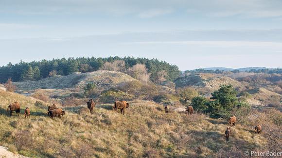 Wisent Kraansvlak- European Bison Kraansvlak