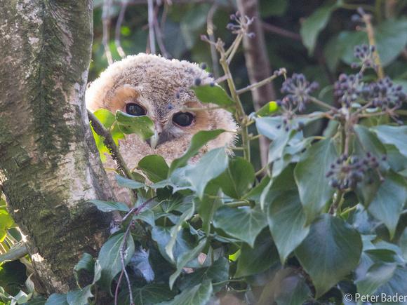 Tawny Owl - Bosuil