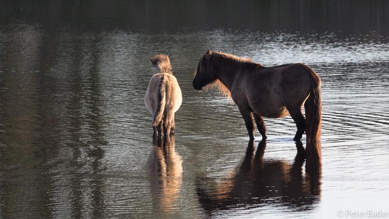 Konikpaard Kraansvlak - Konik horse Kraansvlak