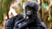 Baby Gorilla in Rwanda Volcanoes National Park