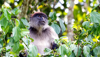 Rode Franjeaap - Rode Colobusaap - Red Colobus Monkey