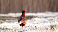 Fazant - Common Pheasant-15