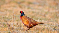 Fazant - Common Pheasant-16