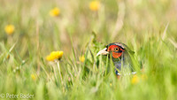 Fazant - Common Pheasant-7