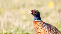 Fazant - Common Pheasant-9