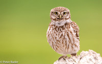 Steenuil - Little Owl 3
