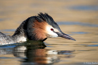 Noord Holland, Futen balts - Great Crested Grebe