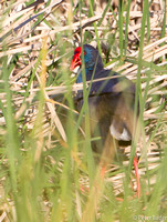 Purperkoet - Purple Swamphen