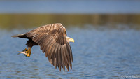 Zeearend - Sea Eagle
