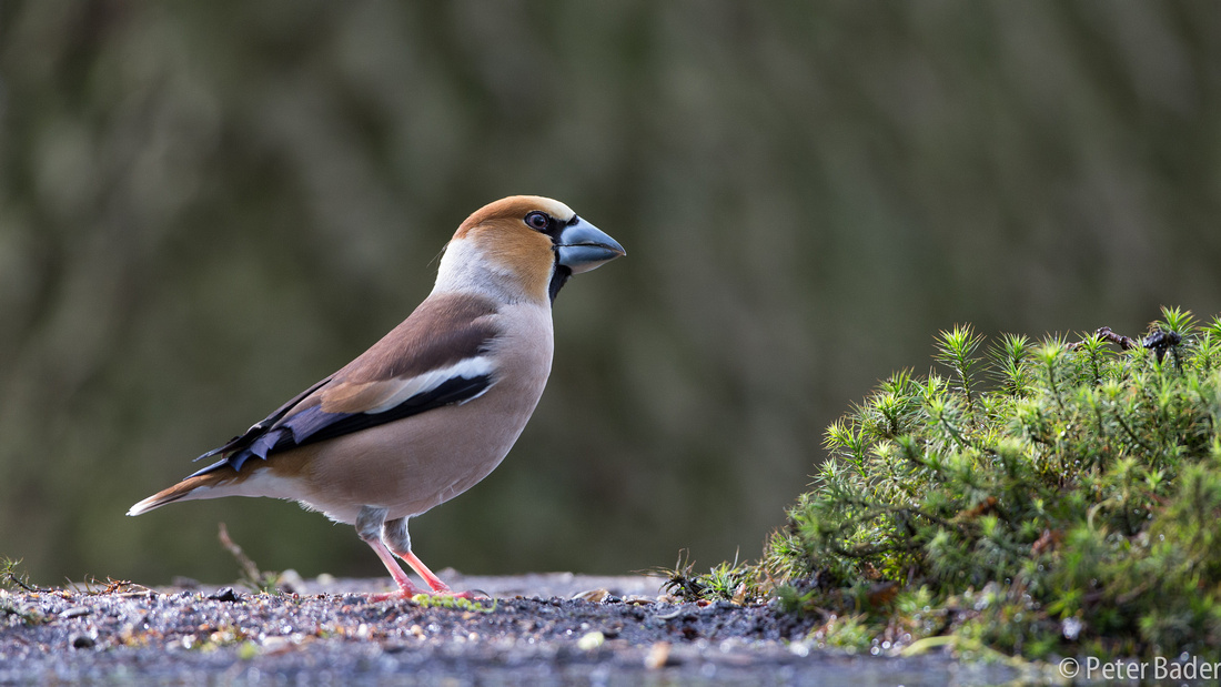 Applevink - Hawfinch