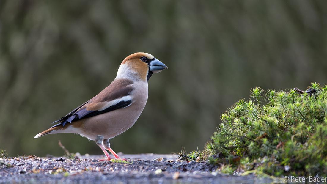 Applevink - Hawfinch