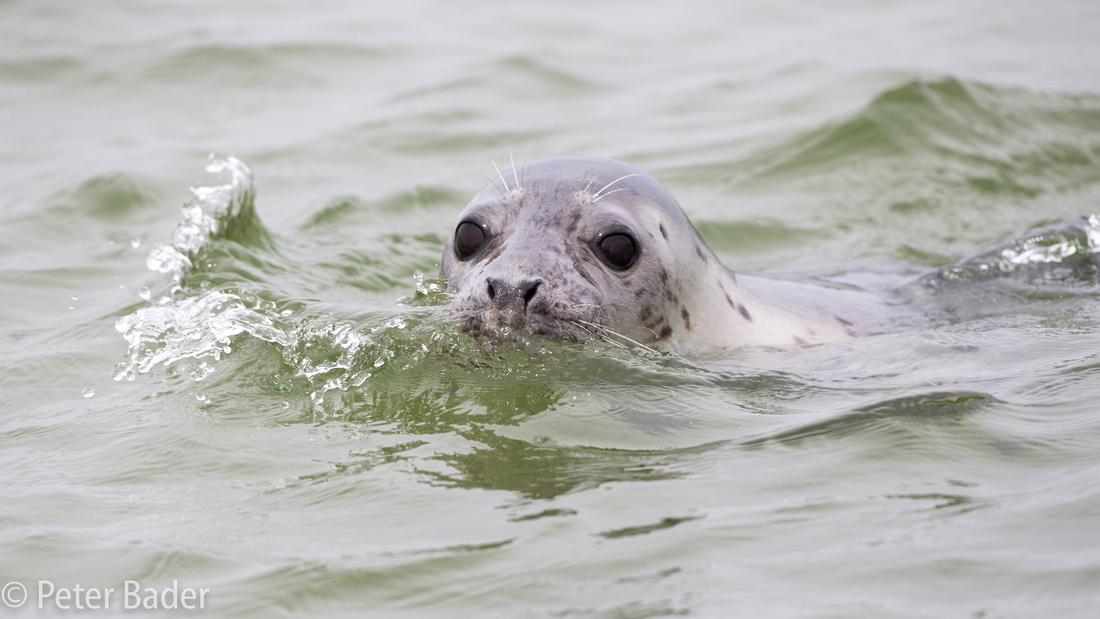 Grijze Zeehond, Grey seal