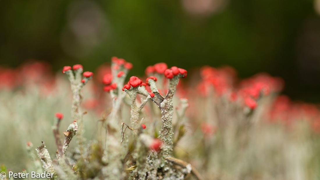 Rode Heidelucifer