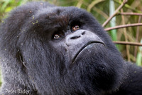 Silverback Gorilla in Rwanda Volcanoes National Park