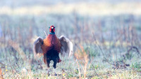 Fazant - Common Pheasant-5