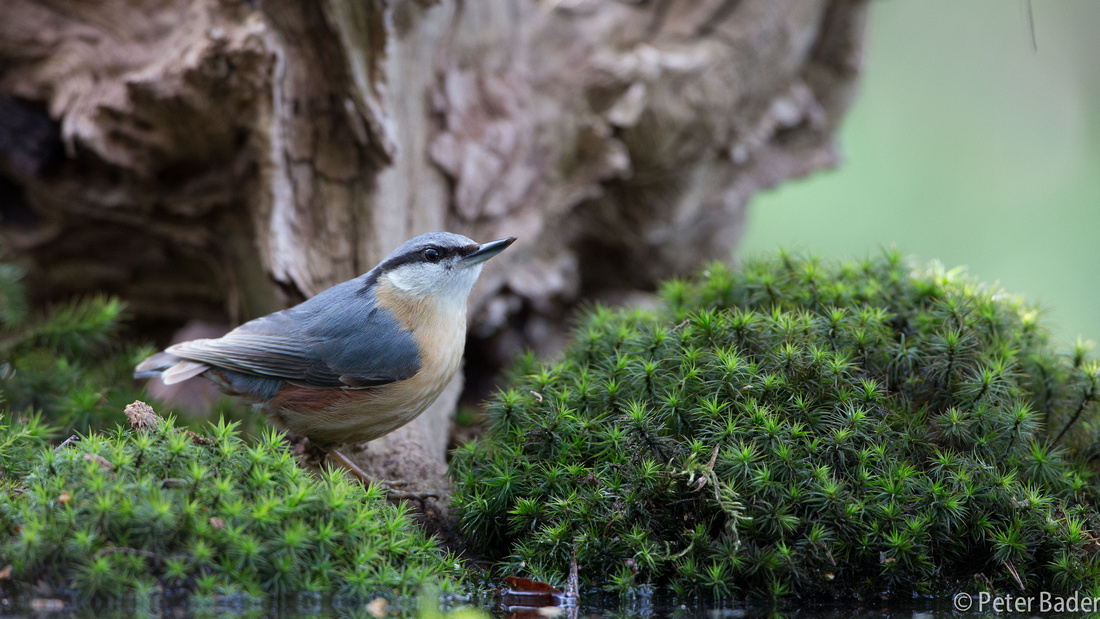 Boomklever - Eurasian Nuthatch